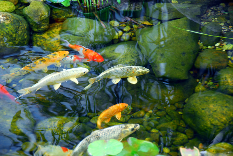 35 backyard pond images great landscaping ideas for Popular pond fish