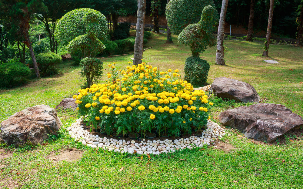 The bright yellow color of this chrysanthemum bush stands out among the greenery.