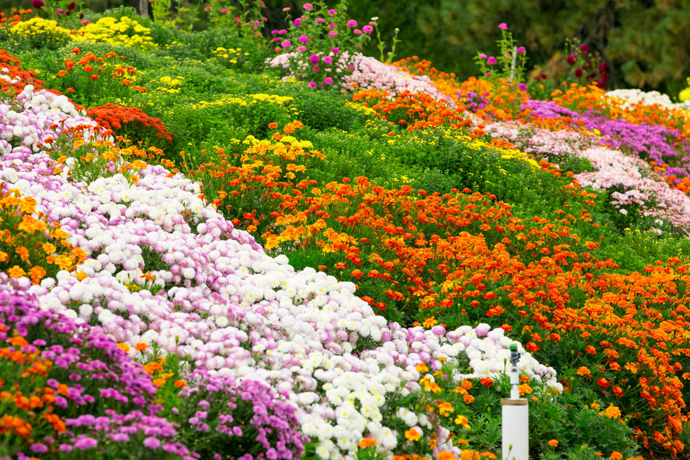 A batch of colorful delights from white and purple chrysanthemum are growing healthier down the slope, while the orange and yellow blossoms of marigolds are flaunting theirs too.