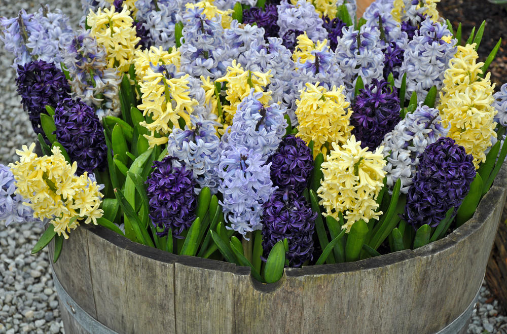 Dark and light shades of hyacinths with yellow ones give the wood barel an overflowing beauty.