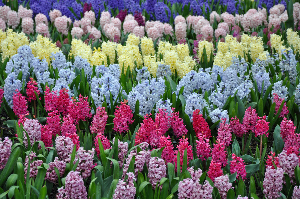 The symmetry of colourful hyacinths looks like a color palette having shades of colourful blossoms planted from the lightest to the darkest.