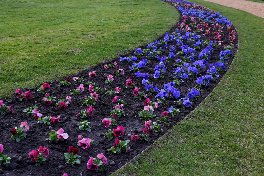 A single row of petunias in blue and purple colors alternating each other.