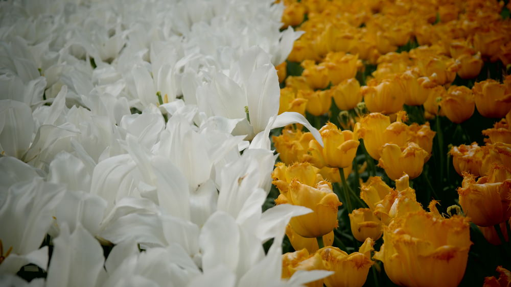 Beautifully paired white lilies and yellow tulips.
