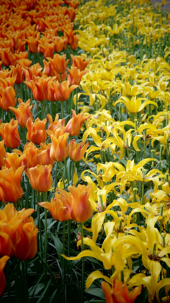 The colors of orange tulips and yellow lilies are even brighter together.