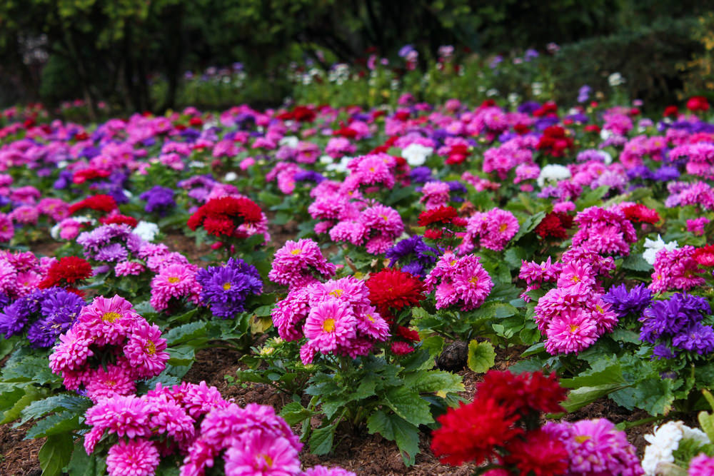 The red, purple, white and pink chrysanthemums are undeniably beautiful and glamorous when planted in color pairs.