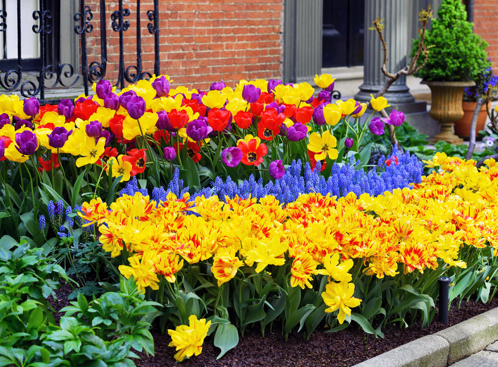 Different colors of tulips, daffodils and grape hyacinths are splendidly stunning and beautiful.