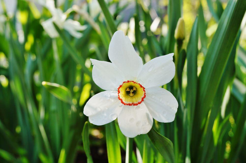 Poet's Narcissus (Narcissus poeticus)