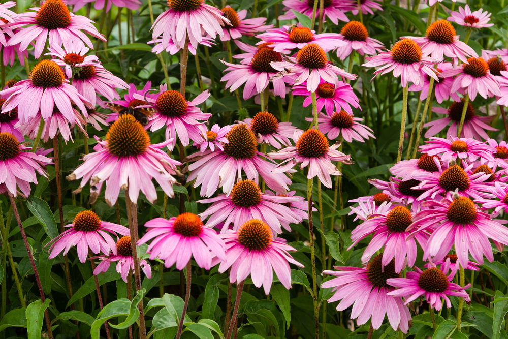 Coneflowers are often mistaken as daisies as they resemble closely to them and are even fancied as growing badminton shuttlecock. They have an embossed ball-like center. These perennial plants do not only serve as a good sunlight tolerant ornament but are also a good medicinal plant.