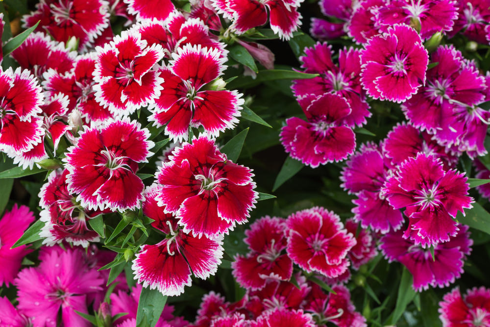 Dianthus commonly have pink, red or white blossoms. They are also known as Sweet Williams, carnations and pinks.
