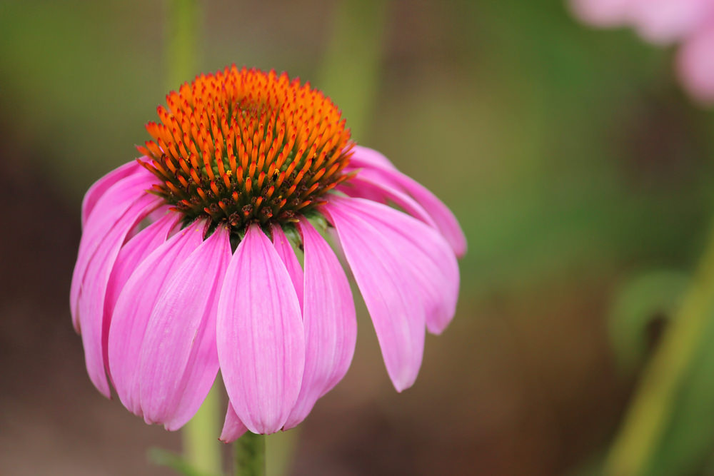 These are also coneflowers resembling to daisies. They are often found in many landscaping and gardens for their attractive purple petals and spikey raised center.