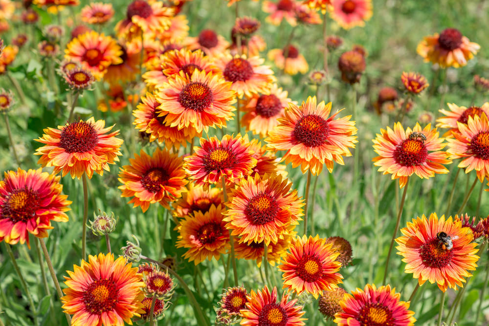 Gaillardia are loved for its long blooming season and daisy-ish flame-like shades. They are very striking with their orange, red and yellow shades.