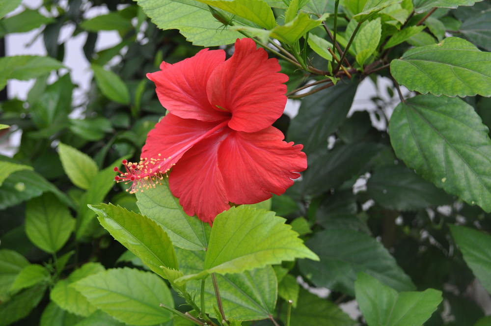 Often called rose mallow or swamp mallow, these herbaceous perennials are known for their large petals and colorful shades. Hibiscus are widely used not only as home or garden ornament but as medicinal plants. They are made into tea or liquid extracts.