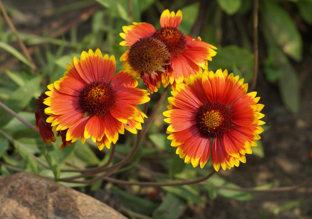 These are also one of the daisy-like resembling perennial plants that stun in either flame-like or golden shades on their blossoms.