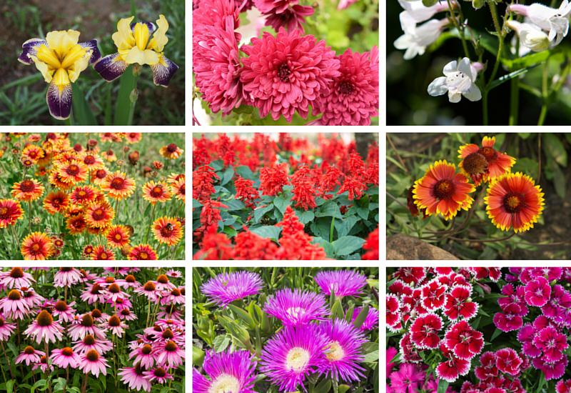 Perennial Flowers for the Sun