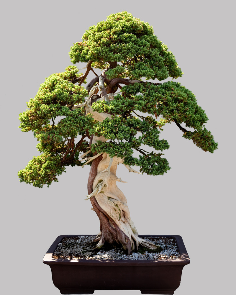 54 pictures of bonsai trees by style and shape for Famous bonsai trees