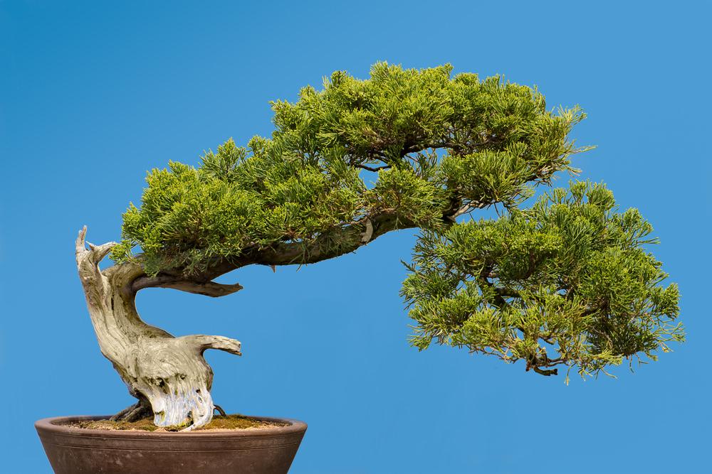 2-bonsai-tree