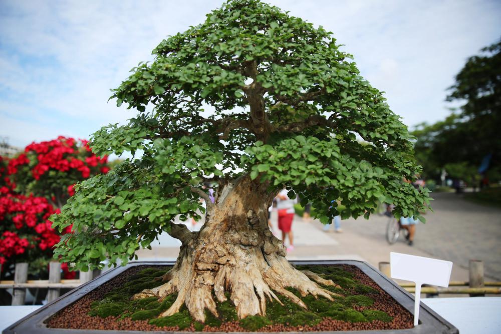 16-bonsai-tree
