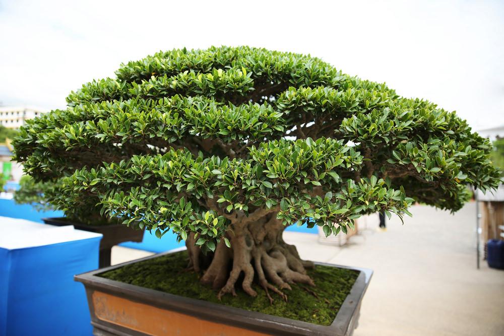 17-bonsai-tree