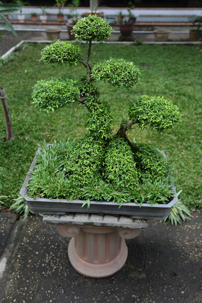 shaped Bonsai