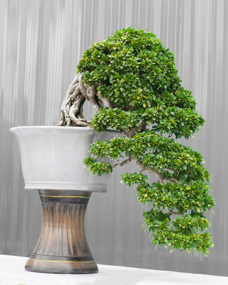 54 pictures of bonsai trees by style and shape for Bonsai tree pics