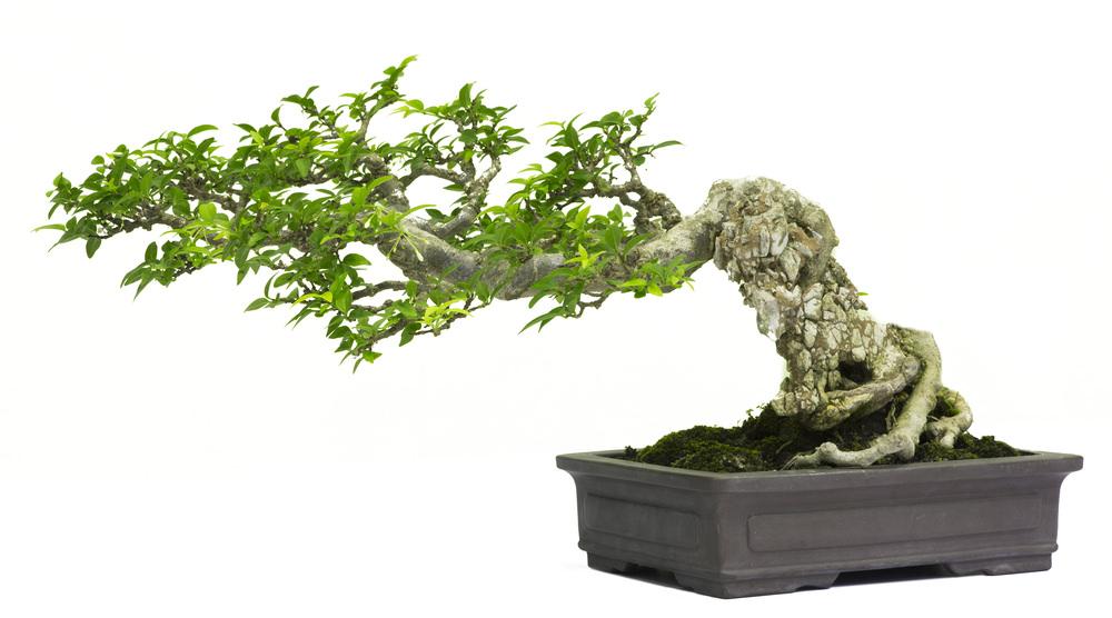 Semi Cascading Bonsai Tree