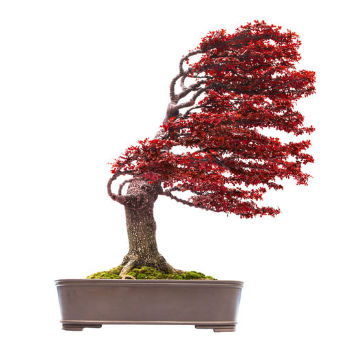 red Windswept Bonsai Tree