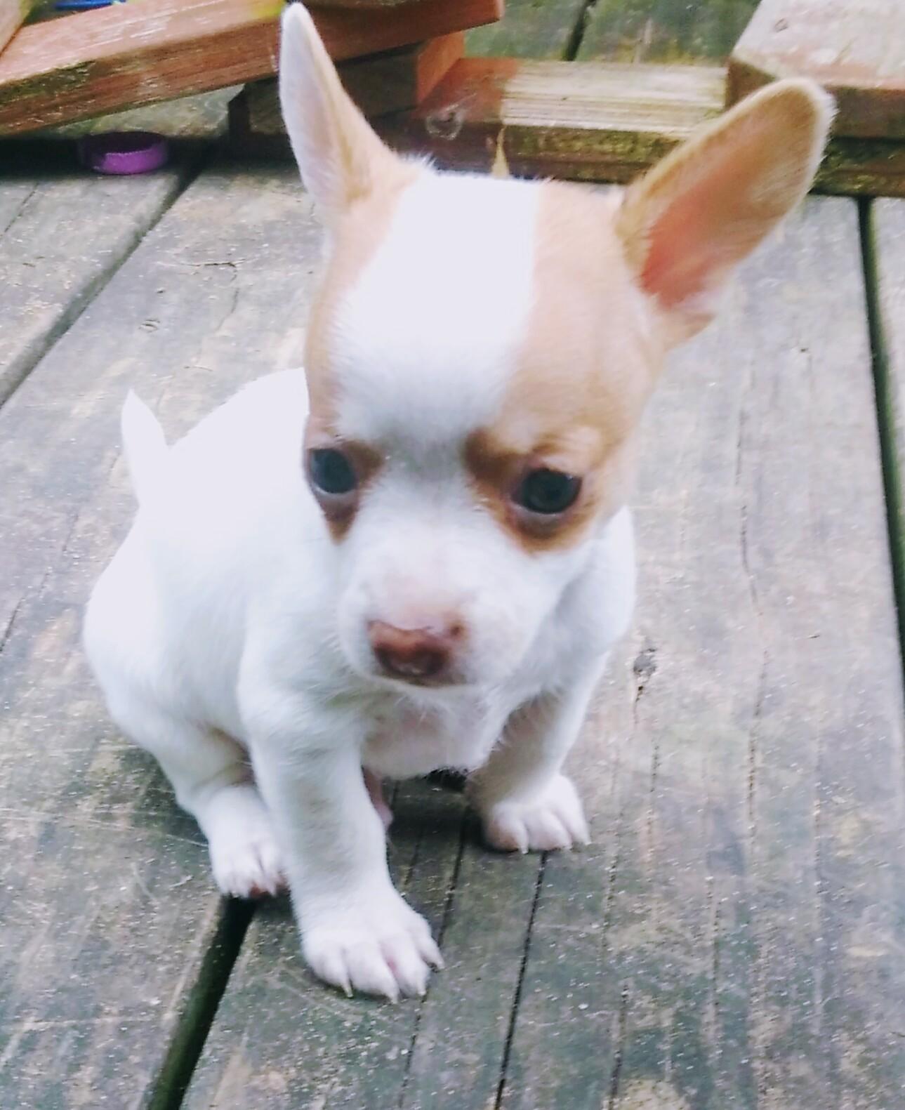 Chihuahua pup female