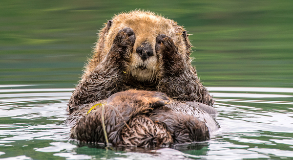 Playing peek-a-boo with a Sea Otter in Kachemak Bay, Alaska. Photo Credit: Stefan Manigatterer, 2015