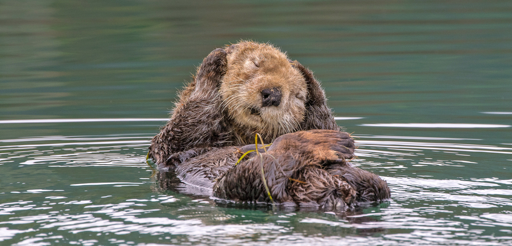 Sea Otter. Photo Credit: Stefan Manigatterer, 2015