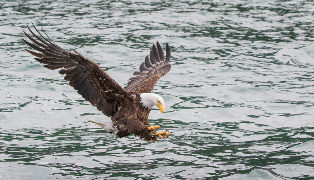 A Bald Eagle in Kachemak Bay, Alaska. Photo Credit: Stefan Manigatterer, 2015