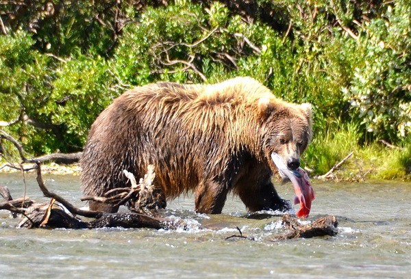 An Alaska Brown Bear enjoys a spawned out Salmon for an afternoon snack.