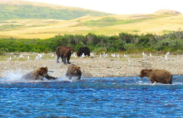 Alaska Brown Bears fishing for spawning salmon.