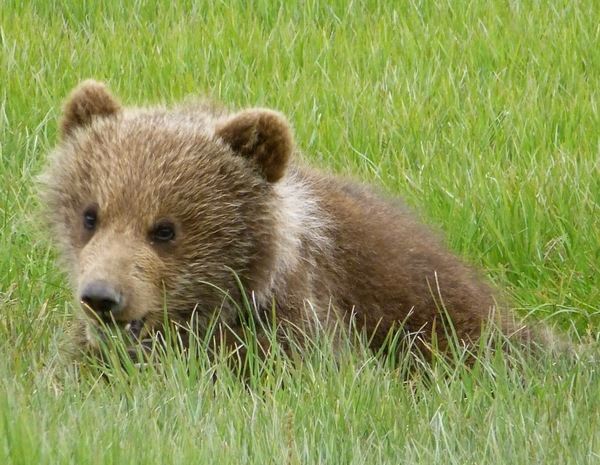 An Alaska Brown Bear Cub in the sedge flats on the Alaska Peninsula.