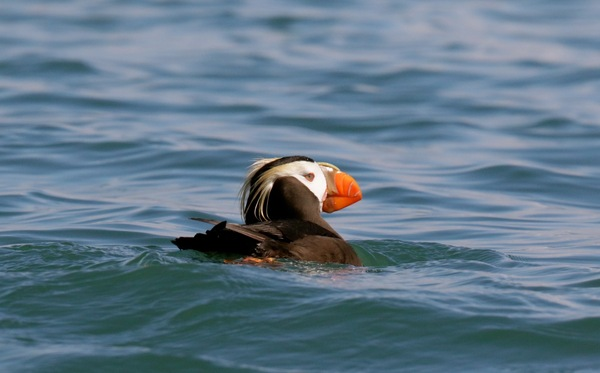 A Tufted Puffin near Gull Island in Kachemak Bay, Alaska. Photo Credit: Martin Fey, 2015