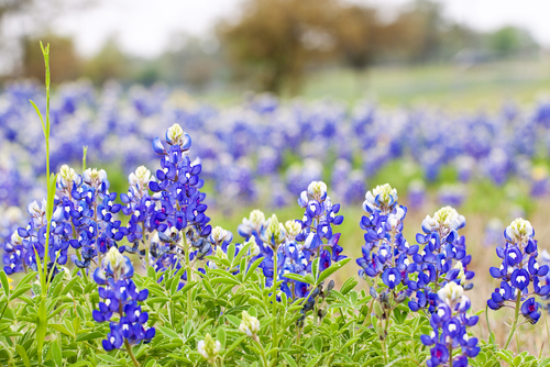 Texas-plants-bluebonnet