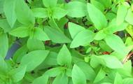 Mr.-mcgregors-farm-fresh-potted-thai-basil