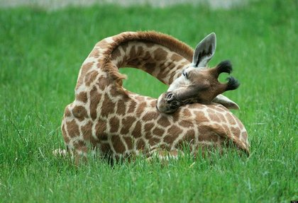 O-sleeping-baby-giraffe-photos-facebook