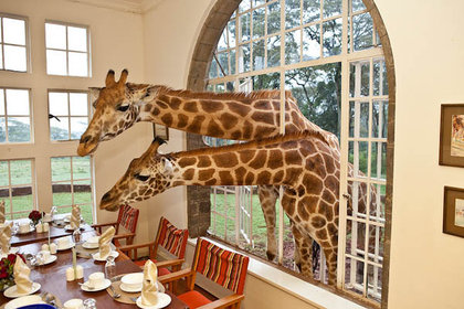 Giraffe_in_a_window
