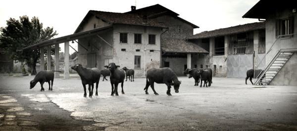 water-buffalo-600x265