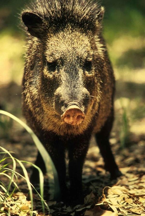 686px-Peccary_javelina_wild_boar_or_skunk_pig_tayassu_tajacu