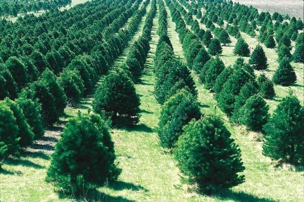 christmastreefarm