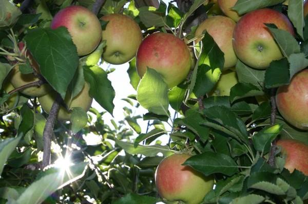 apple-75114_960_720