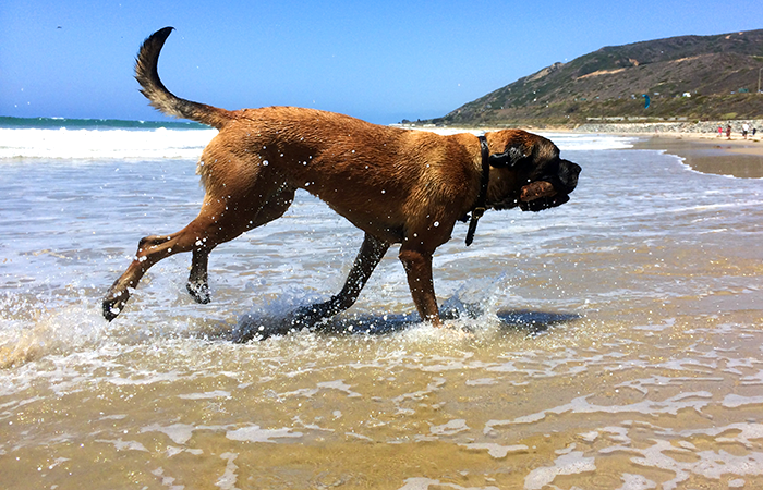 Lyle's first trip to a west coast beach. We think he's a Retriever disguised as a Mastiff.