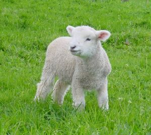 61727_doroffy_the_lamb