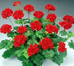 Geraniums