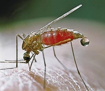 Malaria_20mosquito