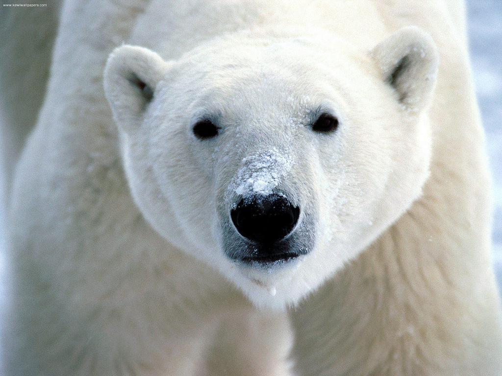 """Snow on Snout, Polar Bear"" by www.kewlwallpapers.com via Flickr Creative Commons"