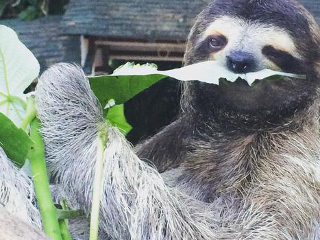 Panama  coquito 3 toed sloth 1