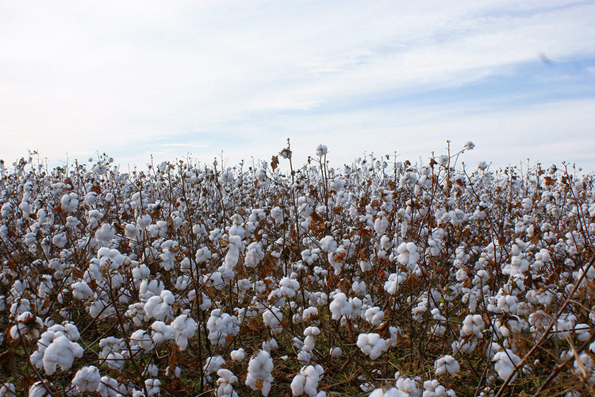 Cotton field in Prattville, Alabama, Photo Credit: Captrosha