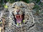 Moremi    leopard   maybe not